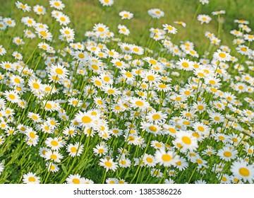 Flowering daisies, Leucanthemum vulgare, on the meadow