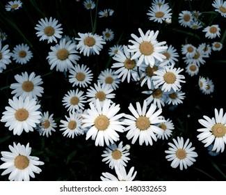 Flowering daisies (Leucanthemum vulgare). Flowering period: May - October. Location: Germany, North Rhine-Westphalia, Borken