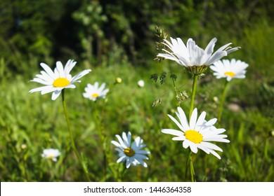 Flowering of daisies / marguerites in Czech nature. Oxeye daisy, Leucanthemum vulgare, Common daisy, Dog daisy, Moon daisy.