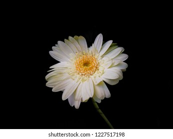 Flowering of daisies. Oxeye daisy, Leucanthemum vulgare, Daisies, Dox-eye, Commit daisy, Dog daisy, Moon daisy. Gardening concept