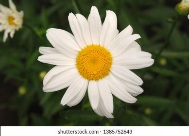 Flowering of daisies. Oxeye daisy, Leucanthemum vulgare, daisies,  Common daisy, Dog daisy, Moon daisy. Gardening concept