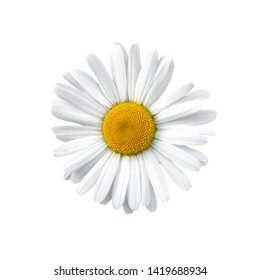 Flowering of daisies. Oxeye daisy, Leucanthemum vulgare, daisies, Common daisy, Dog daisy, Moon daisy.