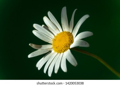 Flowering of daisies. Oxeye daisy, Moon daisy, Leucanthemum vulgare, Daisies, Dox-eye, Common daisy, Dog daisy. Close up gardening concept