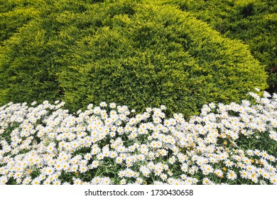flowering daisies white yellow blossom and green leaves