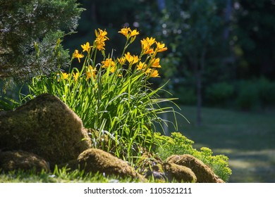 Flowering Daylily flowers -Hemerocallis flower, closeup in the sunny day. The beauty of decorative flower.Soft focus