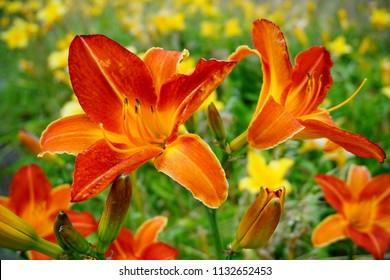 Flowering Day-lily flowers (Hemerocallis flower),  closeup in the sunny day. Hemerocallis fulva. The beauty of decorative flower in garden .Soft focus