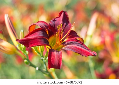 Flowering Daylily flowers (Hemerocallis flower). Perfect image for: close up of daylily Stafford, purple flowers detail, blooming daylily flowers with bokeh, angelic background, autumn, etc.