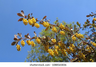 Flowering  of decorative barberry against the blue sky