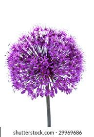 flowering decorative garlic isolated on white