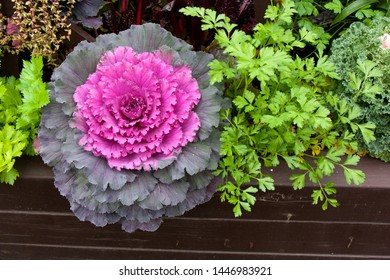 Flowering decorative purple-pink cabbage plant in garden. Ornamental cabbages. Winter flowers. Coloured leaves of ornamental cabbage. Crimson decorative cabbage.Ornamental kale.