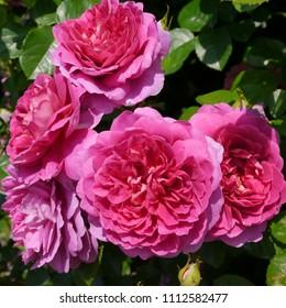 Flowering Deep Pink English Rosa Princess Anne Rose Bush