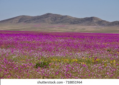 Flowering desert (desierto florido in Spanish). It rarely rains in Atacama desert but it does a carpet made of millions of flowers covers the otherwise dry ground