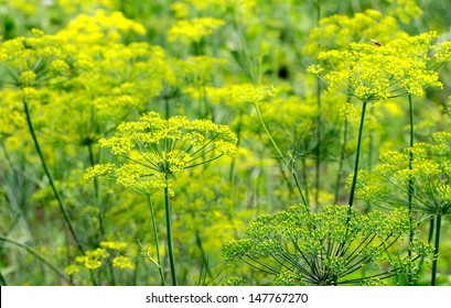 flowering dill background