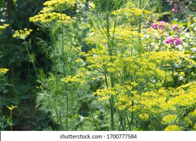 Flowering dill, garden of aromatic herbs, medicinal, spice plant
