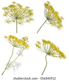 flowering dill. isolated on white background