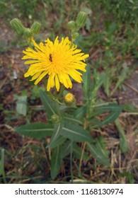 Flowering dindle (Sonchus arvensis)
