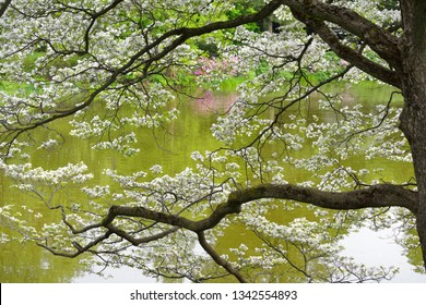 Flowering Dogwood by the water. Spring background