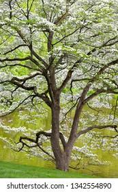 Flowering Dogwood, spring background