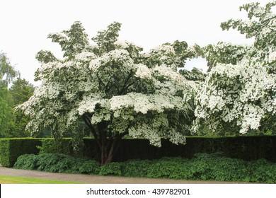 Flowering Dogwood trees, white flowers of Cornus Kousa Milky Way
