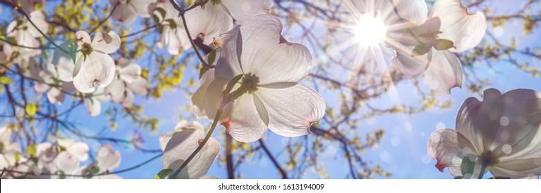 Flowering dogwood white flowers in bokeh light. Spring blossom background with Cornus florida flowers,  banner