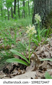 Flowering Elder-flowered Orchid (Dactylorhiza sambucina) in the grassy woods