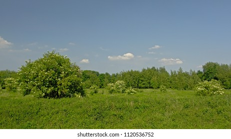 Flowering Elders and other green shrubs and trees in a meadow with high wild grass on a sunny day with clear blue sky in the Flemish countryside - Sambucus n*gra