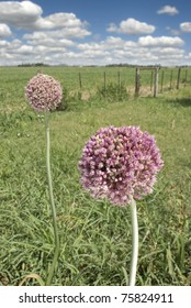 Flowering Elephant Garlic (Allium ampeloprasum) next to a soya field