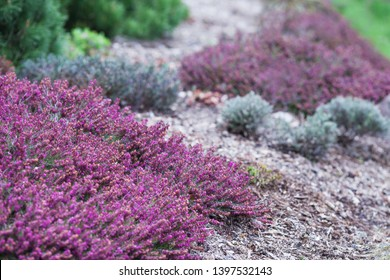 Flowering Erica gracilis or heather ornamental plant. Calluna vulgaris Flowers banner. Idyllic moorland pattern with beautiful blooming calluna flowers for website background or greeting card