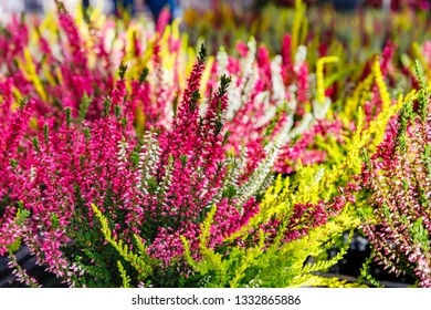 Flowering Erica gracilis Ornamental shrubs on the counter in the store.  Other Flower names - Cape heath or Calluna vulgaris var. Trio Girls