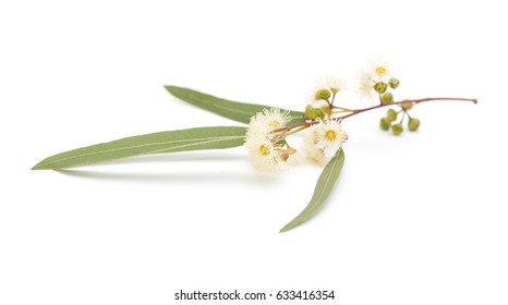 flowering Eucalyptus camaldulensis isolated on white background