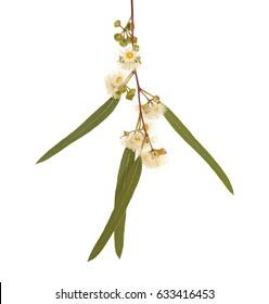 flowering Eucalyptus camaldulensis isolated on white background