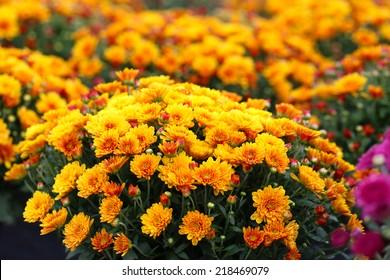 Flowering Fall Mums
