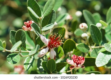 Flowering feijoa or Acca selloff (lat. Acca sellowiana) is a species of evergreen shrubs or small trees of the genus Akka the Myrtle family (Myrtaceae). It's spring. Close up
