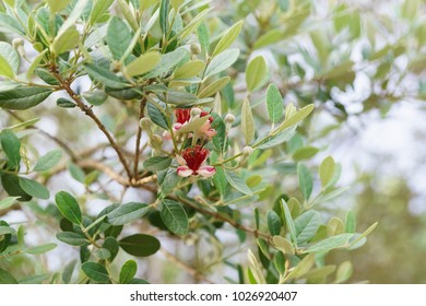 Flowering feijoa or Acca selloff (lat. Acca sellowiana) is a species of evergreen shrubs or small trees of the genus Akka the Myrtle family (Myrtaceae)