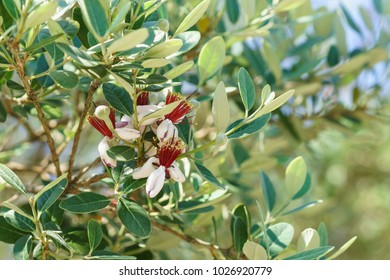 Flowering feijoa or Acca selloff (lat. Acca sellowiana) is a species of evergreen shrubs or small trees of the genus Akka the Myrtle family (Myrtaceae). It's spring