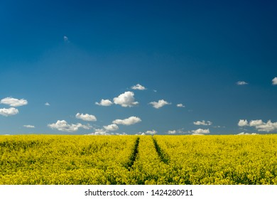 Flowering field of bright yellow rapeseed, canola or colza with tyre tracks from a farm vehicle under a sunny blue sky