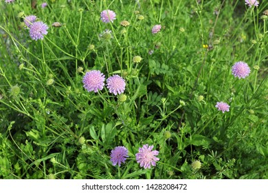 Flowering Field Scabious (Knautia arvensis) in a French meadow in summer