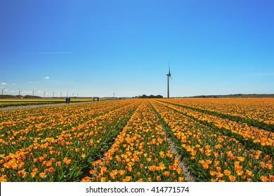 flowering fields in the Kop van Noord-Holland in the Netherlands.