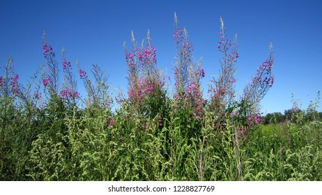 Flowering fireweed and blue sunny sky