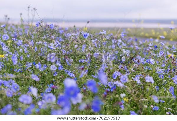 Flowering flax, Crimea