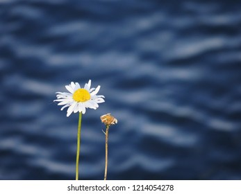 a flowering flower and a withered flower of a marguerite on the bank of a blurred background water, Leucanthemum vulgare,