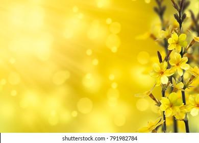 flowering forsythia in springtime
