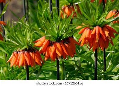 Flowering fritillary Rubra Maxima - crown imperial Rubra Maxima (Fritillaria imperialis Rubra Maxima)