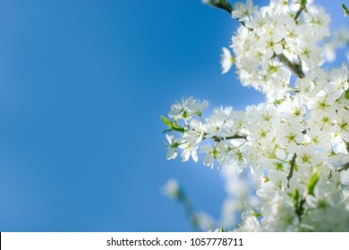 Flowering fruit tree, blossom fruit branch and blue sky - beautiful nature