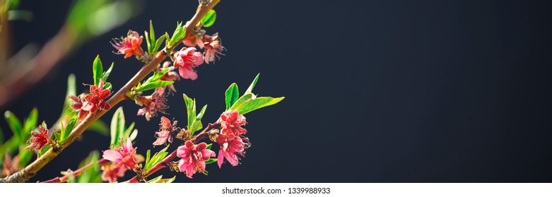 Flowering fruit tree branches with pink flowers in sunlight against dark background