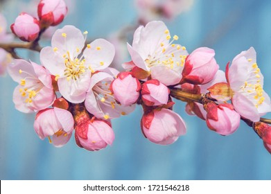 flowering fruit trees. apricot flowers