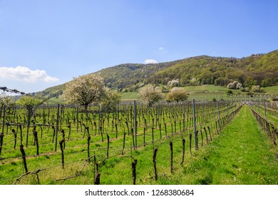 Flowering fruit trees in vineyards in early spring. Vineyard Landscape at Baden-Wuerttemberg wine region,  Germany.