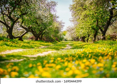 Flowering garden in spring time. Ground level view of a lush dandelion in an apple orchard in sunny weather. Fresh seasonal background. Selective focus, blurred foreground. Beauty of earth, Ukraine.