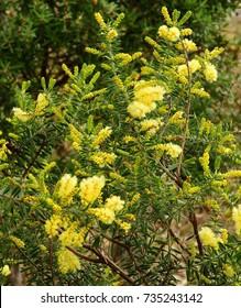 flowering golden wattle shrub in spring on a hike on  south bruny island, tasmania, australia
