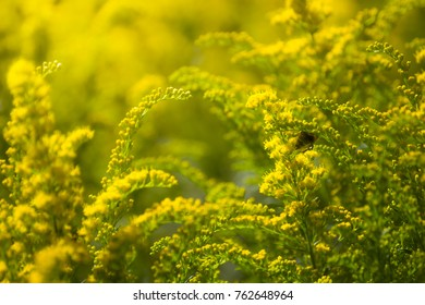 Flowering goldenrod and bee - a medicinal, ornamental and honey plant.